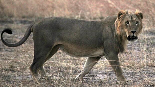 Animais são ameaçados por avanço da agricultura, redução de seu habitat e caça ilegal (Fot Panthera)