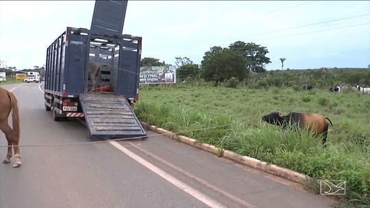 Operação da Polícia Rodoviária apreende animais soltos na BR-230 no Maranhão
