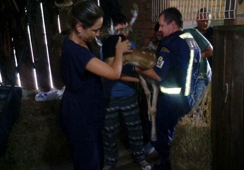 Cervo encontrado em rua de Porto Alegre é transferido para hospital veterinário