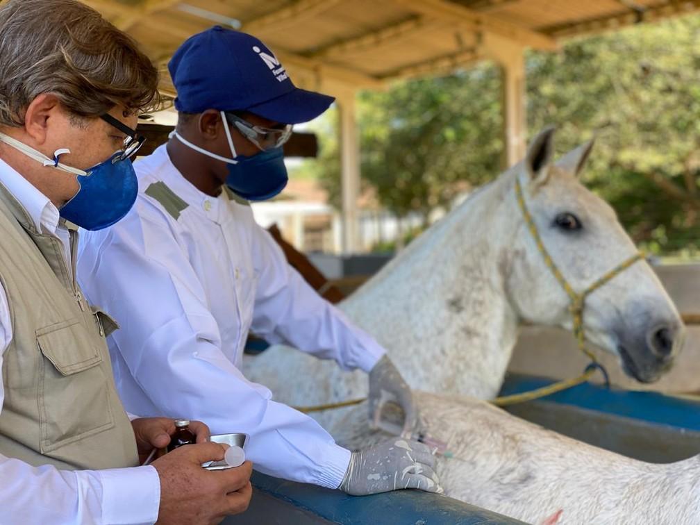 Cavalos receberam proteína Spike, do Sars CoV-2, e desenvolveram anticorpos neutralizantes contra a Covid-19 — Foto: Arquivo IVB