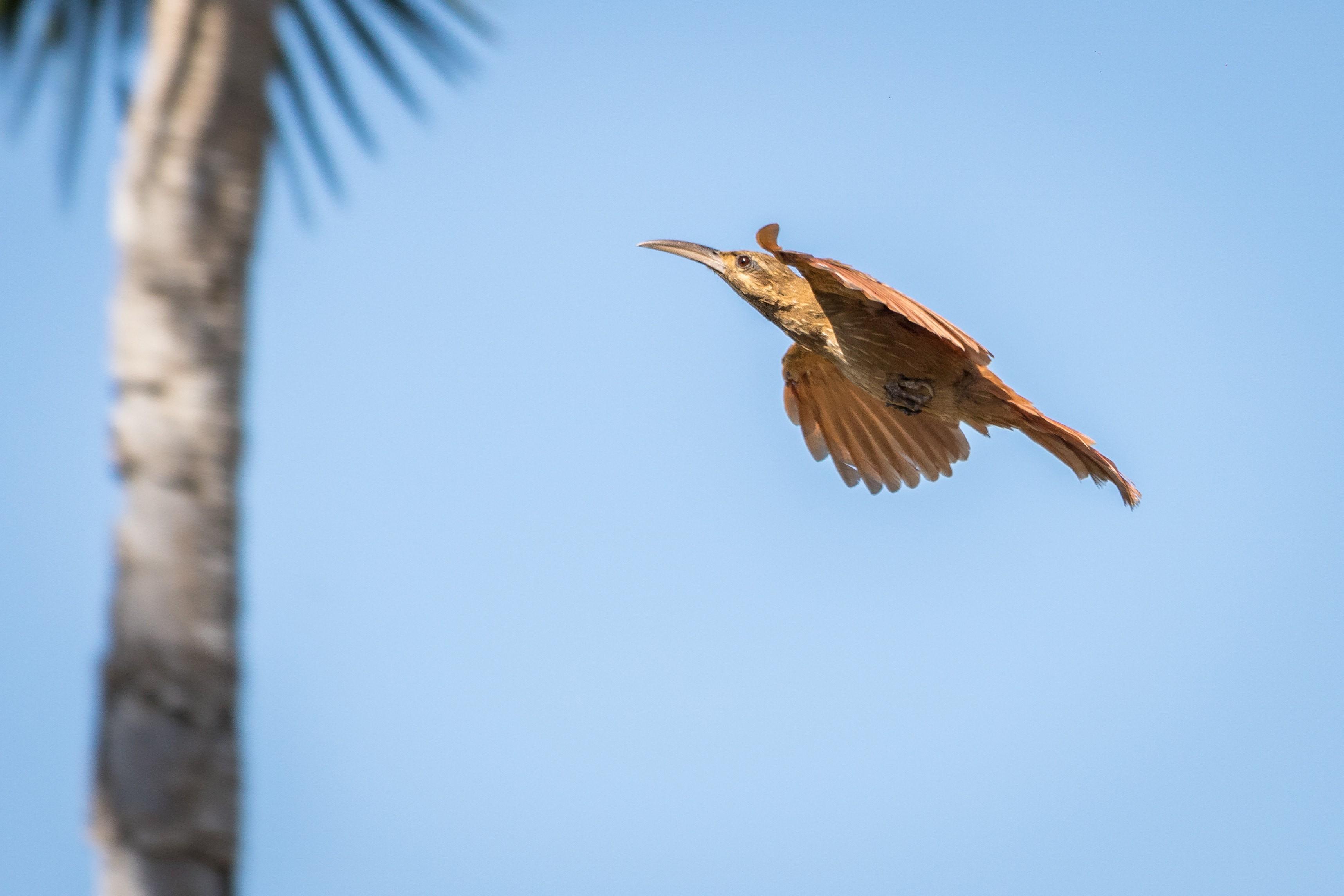 Arapaçu-do-nordeste é destaque no acervo de fotógrafo de natureza