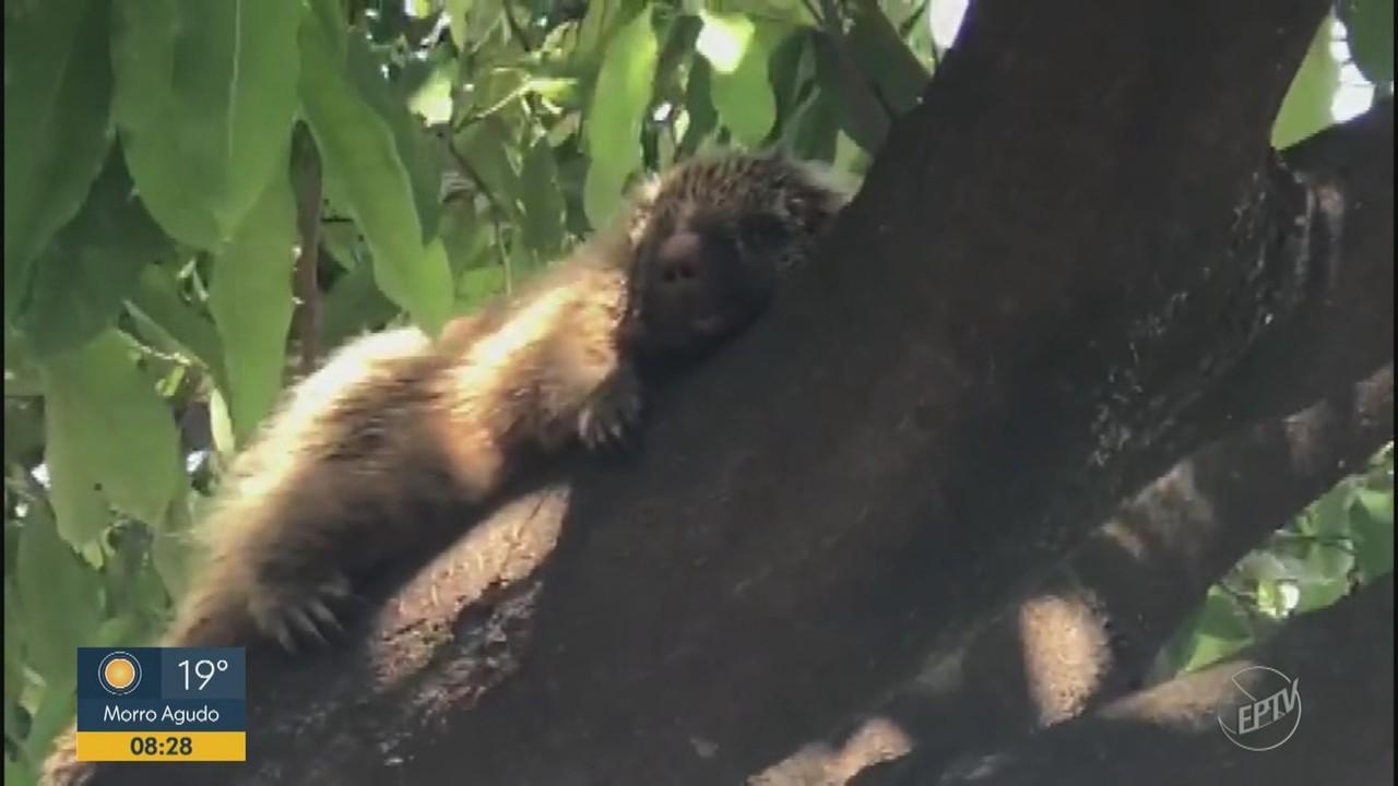 Porco-espinho é resgatado na zona urbana de Sumaré e solto em área de mata