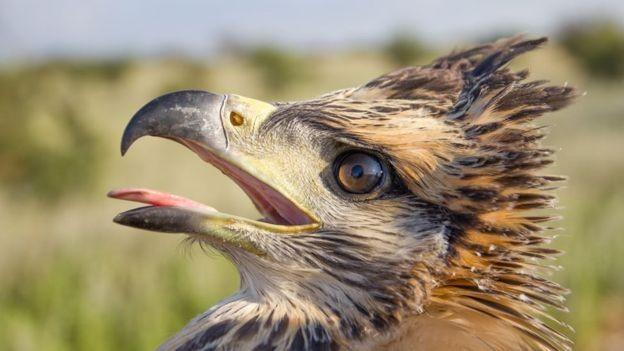 A espécie corre risco de extinção, segundo a União Internacional para a Conservação da Natureza (Foto: ARQUIVO PESSOAL)