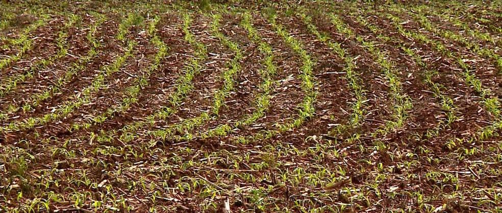 Plantação de milho — Foto: Reprodução/RBS TV