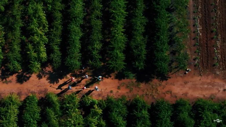 Plantação de Robusta Amazônico (Foto: Embrapa/Reprodução)