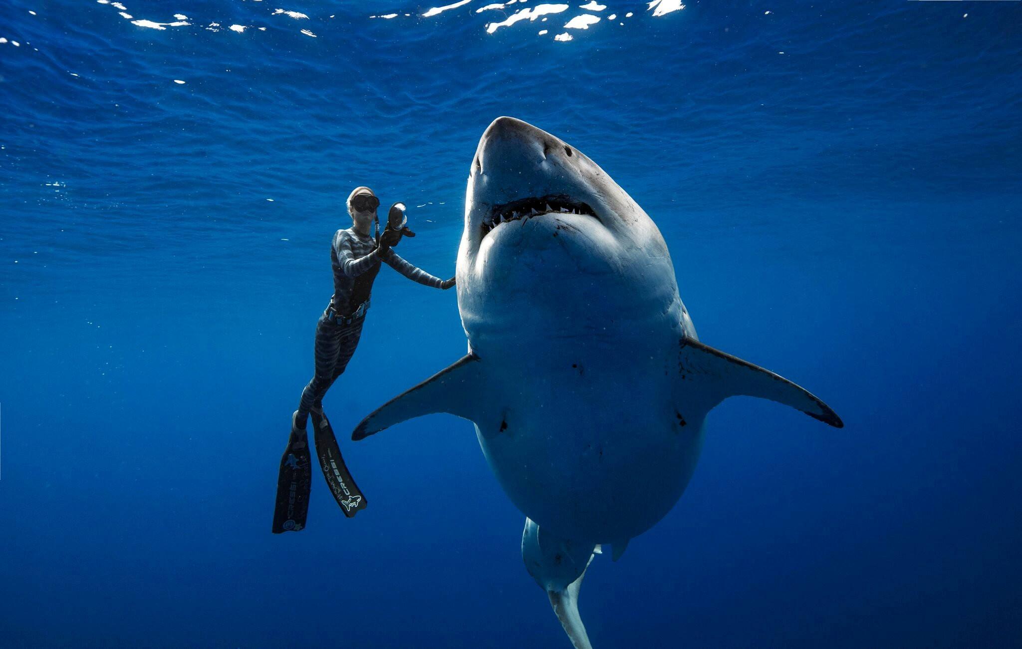 Tubarão-branco gigante é  filmado por mergulhadores no Havaí em aparição rara