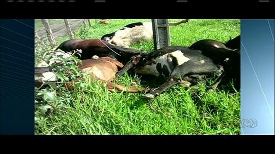 Fio de alta tensão cai em pasto e mata 15 vacas em fazenda de Novo Gama