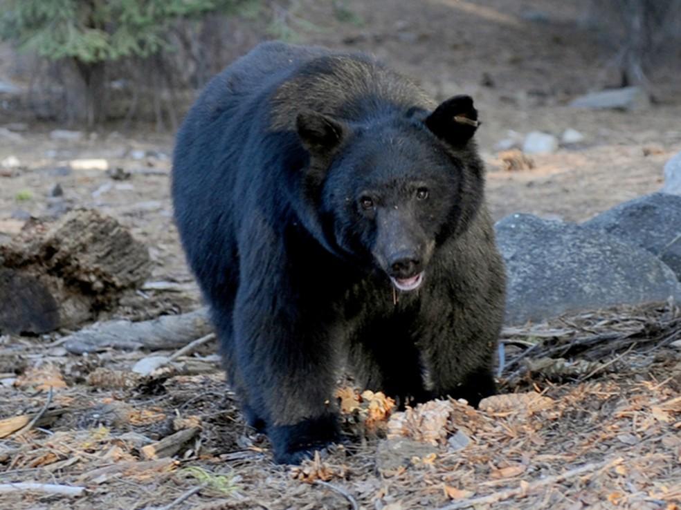 Um urso negro é visto no Sequoia National Park, na Califórnia, em 9 de outubro de 2009. A temporada de caça a animais da espécie na Flórida durou apenas 48 horas este ano (Foto: AFP Photo/Mark Ralston/Files)