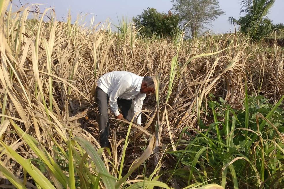 Produção de cana-de-açúcar contribuiu para maior baixa de empregos — Foto: Rajendra Jadhav/Reuters