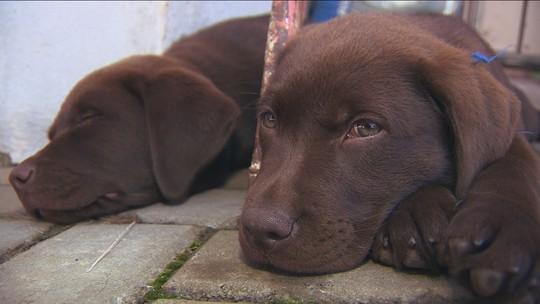 Conheça treinamento do filhote Iron até se tornar cão de resgate dos bombeiros de SC