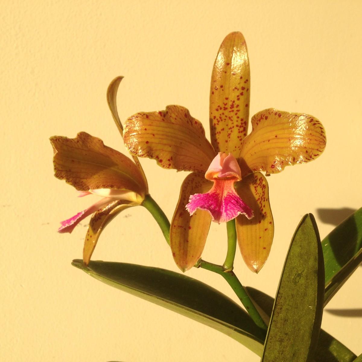 Resultado de imagem para Lei transforma orquídea em flor símbolo do Rio Grande do Norte