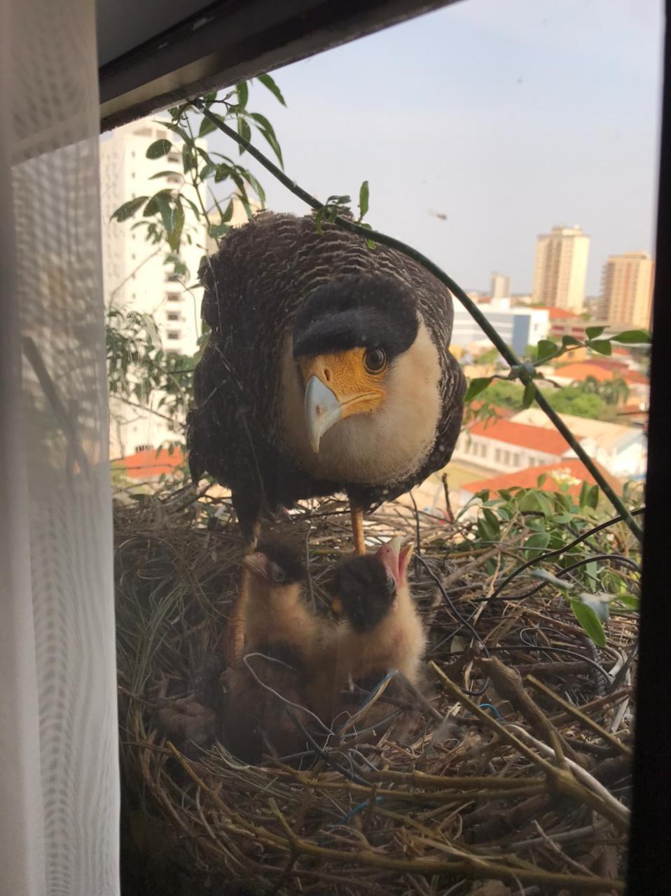 Catarina e Napoleão: casal de falcões carcarás faz ninho em floreira de apartamento no 12º andar e filhotes nascem na área central de Presidente Prudente