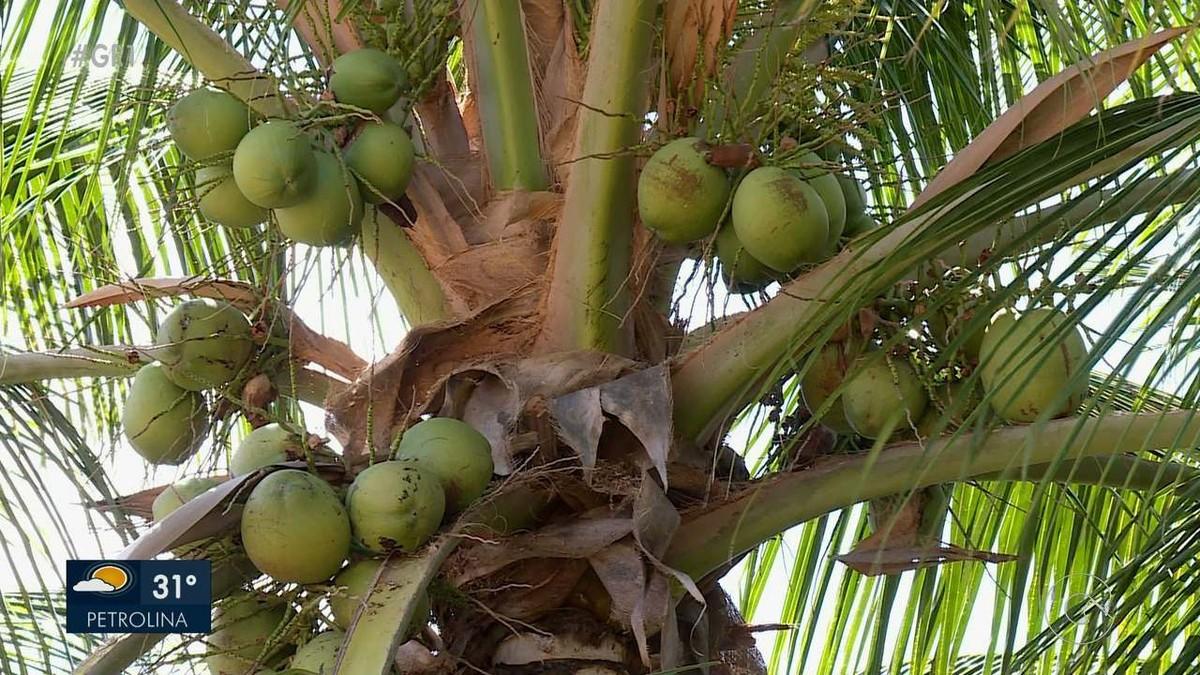 Produtores se animam com alta no preço do coco em Petrolina - G1