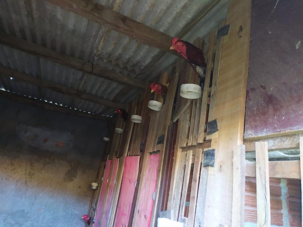 Galos presos no local onde rinha era feita em Itabuna, no sul da Bahia — Foto: Polícia Militar/ Divulgação