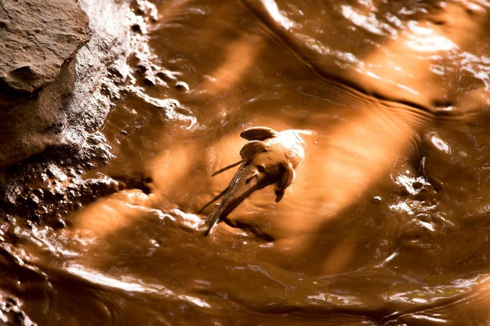 Peixe na lama de mineração, no Rio Doce — Foto: Leonardo Merçon/ Instituto Últimos Refúgios