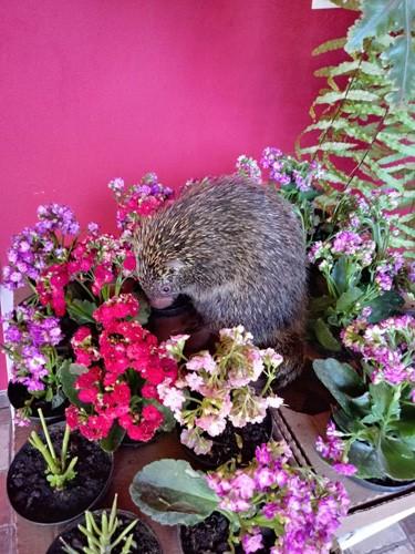 Moradora encontra ouriço em vaso de plantas no quintal de casa em Assis