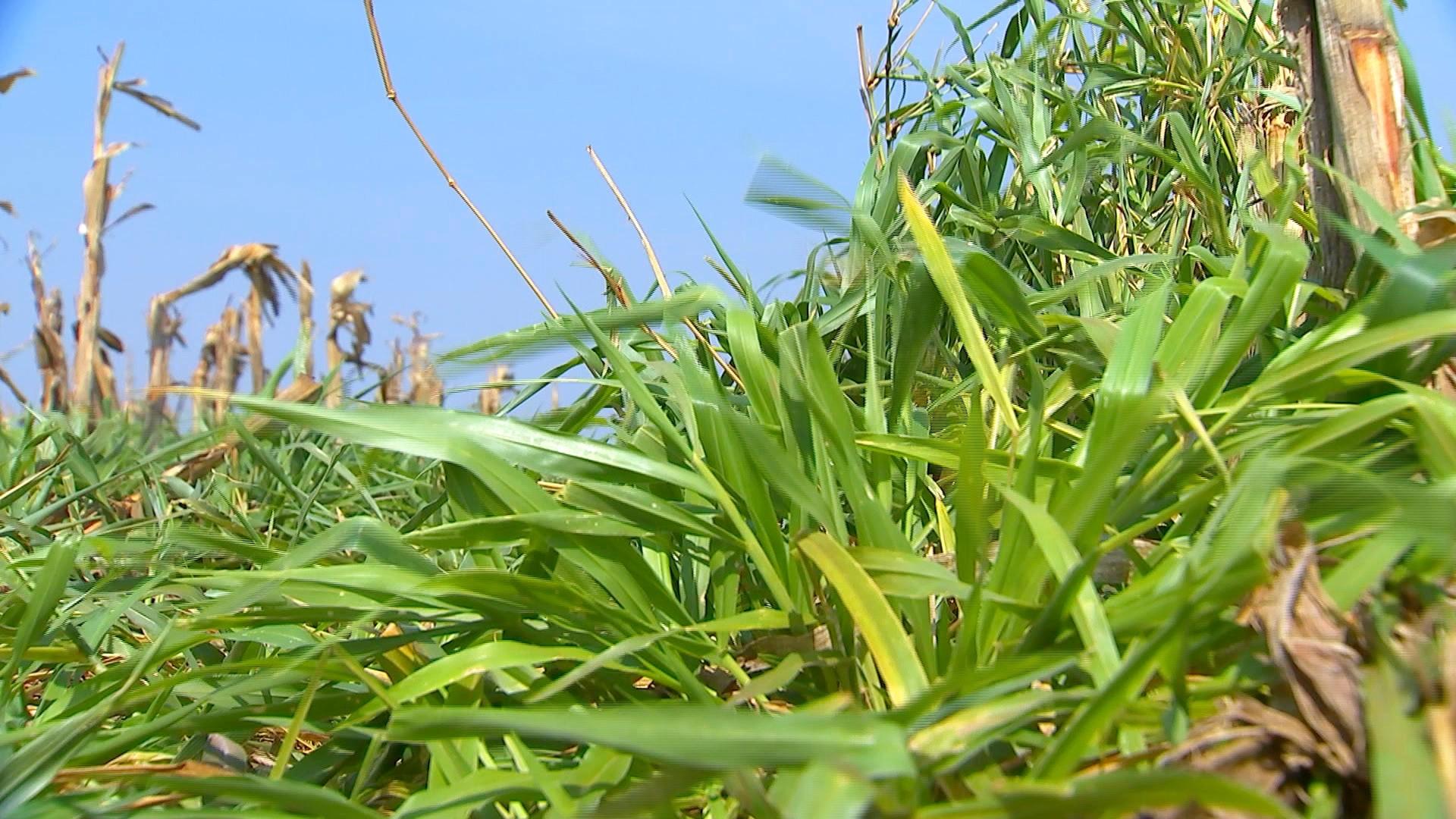 Agricultores plantam braquiária para proteger solo na entressafra de grãos