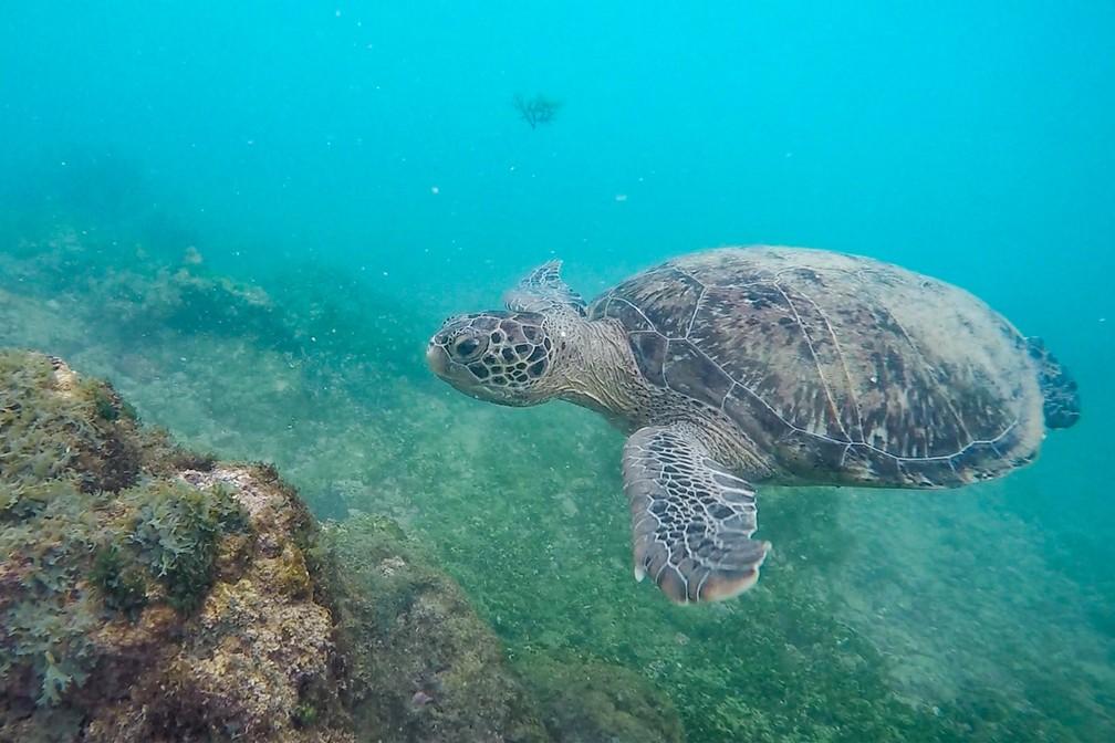 Tartaruga busca alimentos em meio aos recifes da Praia do Sueste, em Fernando de Noronha — Foto: Fábio Tito/G1