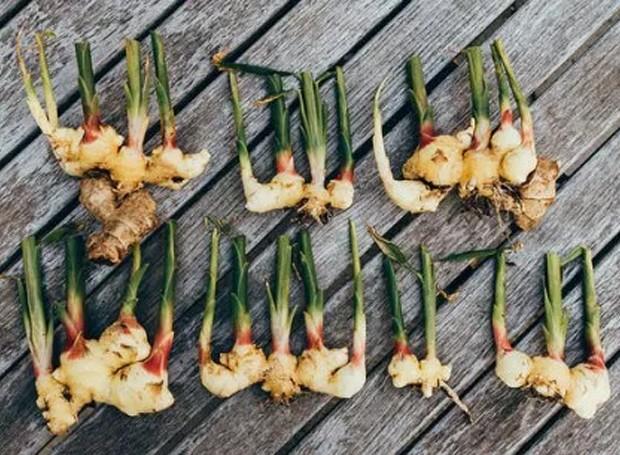 Os rizomas do gengibre são os pequenos caules que nascem debaixo da terra (Foto: Gardening Channel/ Reprodução)