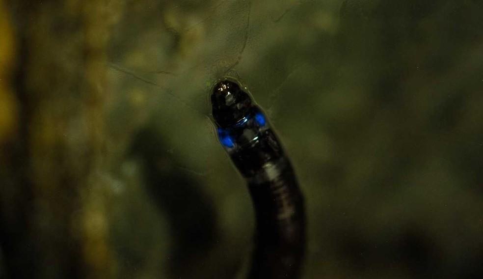 Larva foi encontrada por pesquisadores na Reserva Betary, coração da Mata Atlântica no Vale do Ribeira — Foto: Henrique Domingos/IPBio Brasil
