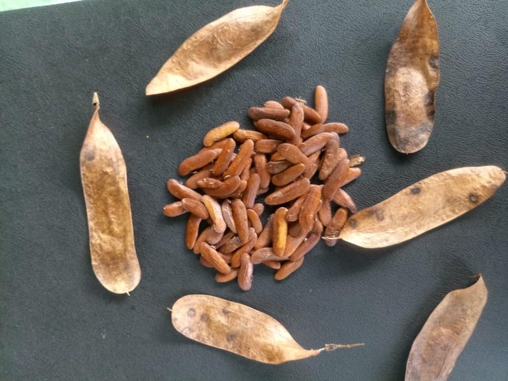 A MRN faz a semeadura direta, utilizando sementes para germinação no terceiro e quinto ano da restauração — Foto: MRN/Divulgação