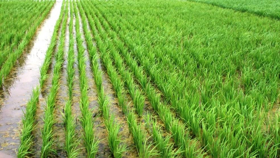 O preço do arroz deve se estabilizar em torno de R$ 5 o quilo. — Foto: Divulgação / Instituto Rio Grandense do Arroz (Irga)