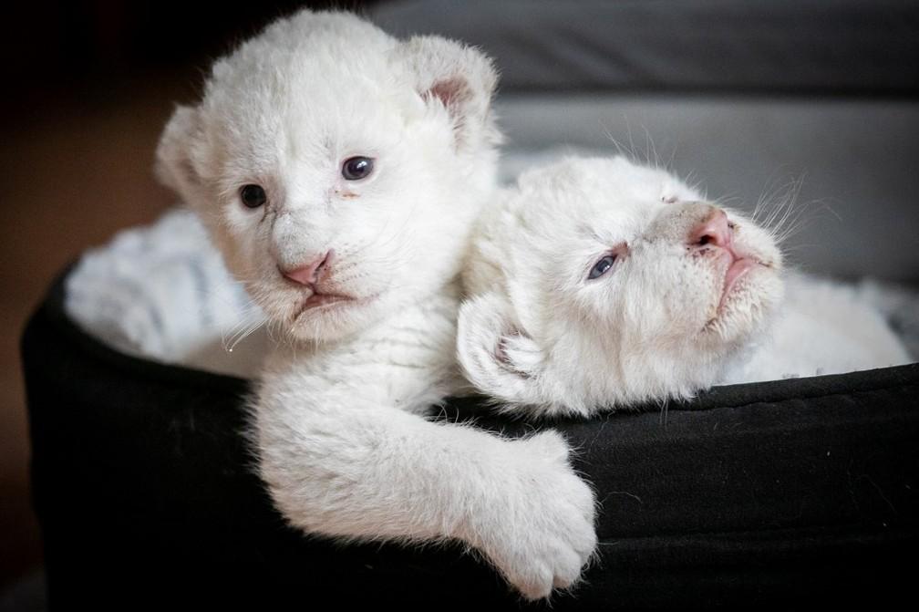 Os dois filhotes receberam o nome de Nala e Simba, e nasceram no final de julho — Foto: Lou Benoist/AFP