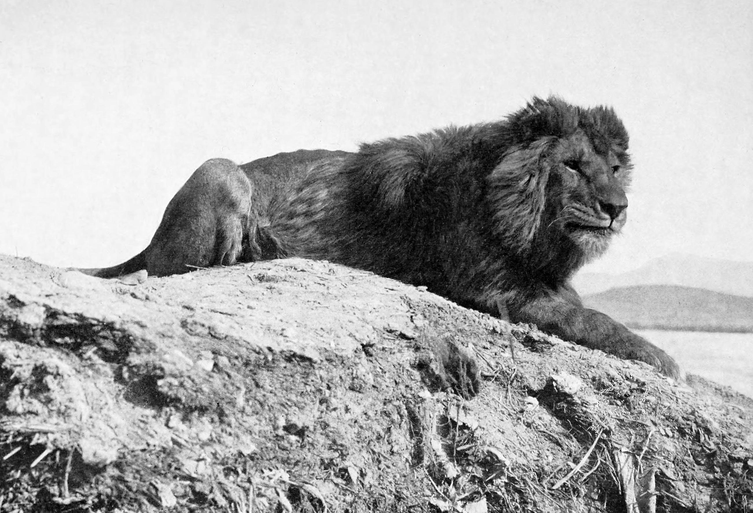 Os leões-do-atlas habitavam o Norte da África até a primeira metade do século 20. (Foto: Wikimedia Commons)