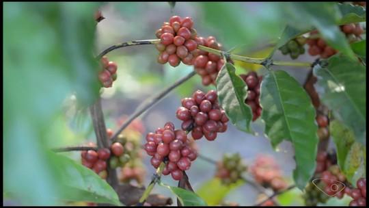 Nova variedade de café mais forte e resistente à seca é lançada no ES