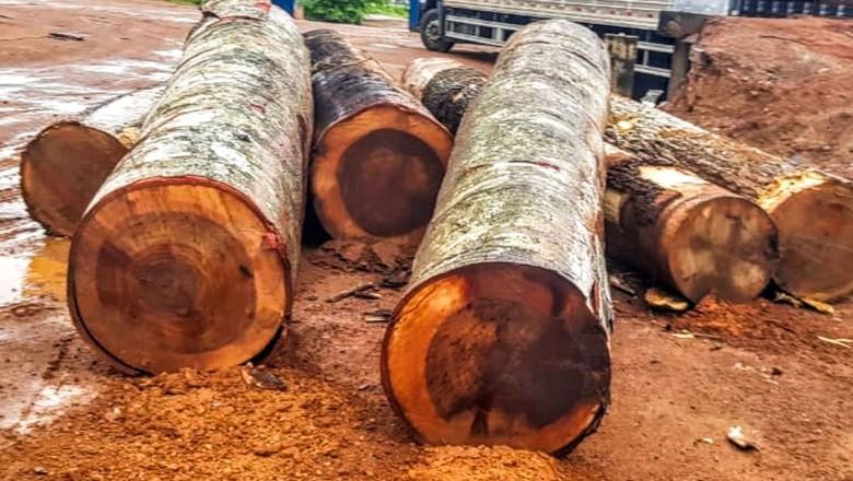 madeira-ilegal-pf-operacao (Foto: Agência Brasil)