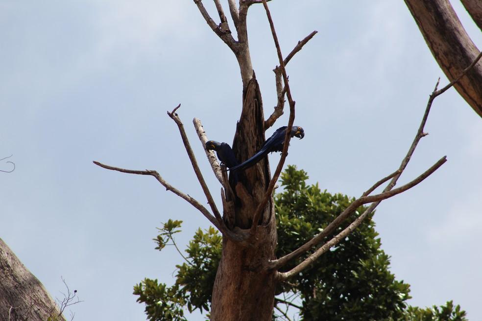 -  Árvore foi mantida para aguardar o voo dos filhotes de um casal de araras azuis e dois casais de araras vermelhas  Foto: Ascom Alcoa/Divulgação
