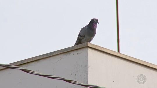 Comerciantes de Angatuba reclamam da quantidade de pombos na cidade