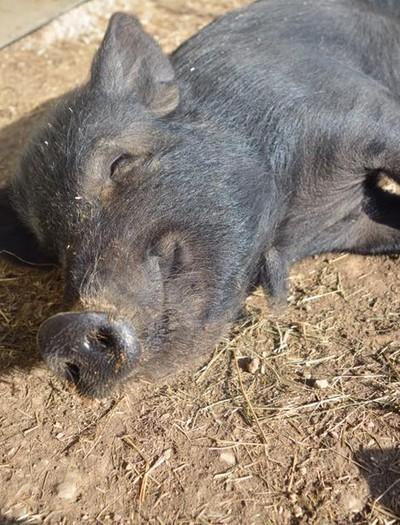 porco-resgatado (Foto: Humane Society Of Missouri)