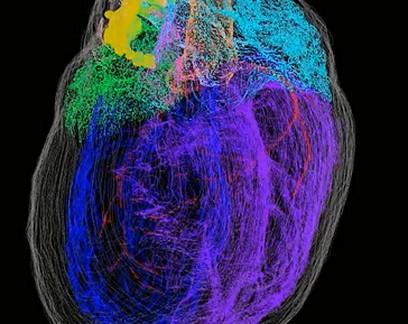 Primeiro mapa 3D de neurônios do coração revela complexidade do órgão