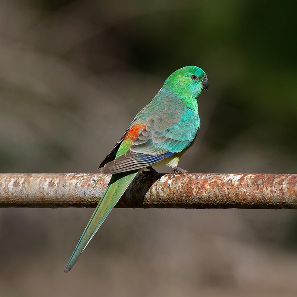 O papagaio-ruivo ('Psephotus haematonotus') é outra espécie apontada pelos pesquisadores como uma das que passaram por mudanças corporais por causa do aquecimento global. — Foto: patrickkavanagh/Wikimedia