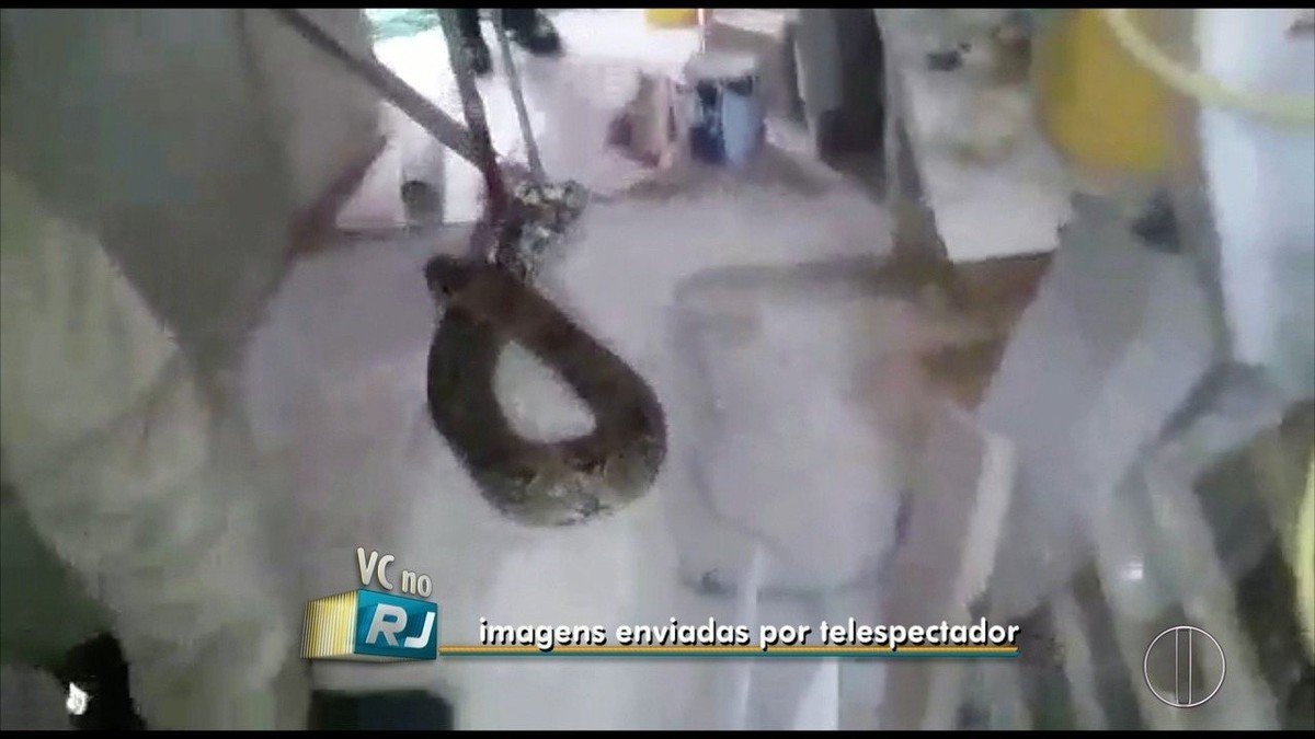 Morador encontra jiboia de mais de dois metros no quintal de casa em Macaé, no RJ