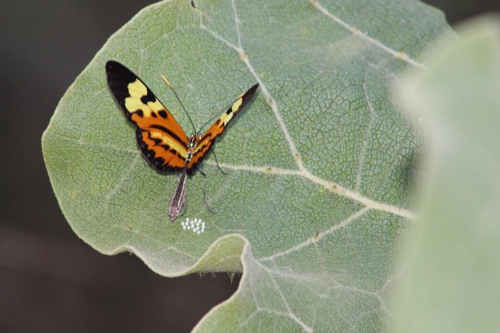 Boboleta põe larvas em folha de lobeira (Foto: Marília Marques/G1)