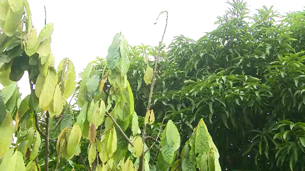 Planta fica com ramos curvados, coloração alterada, as folhas crescem em tamanho maior que o normal (Foto: Rede Amazônica/Reprodução)