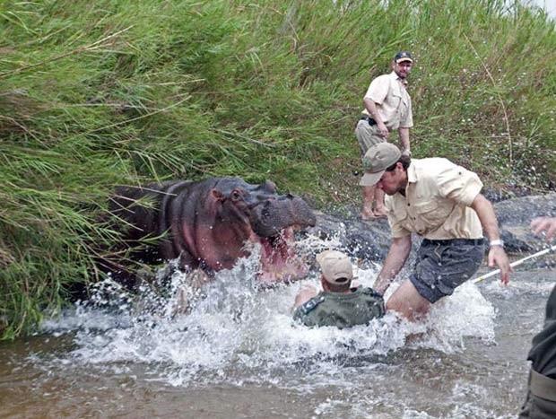 Em 2010, o veterinário Markus Hofmeyr quase levou uma mordida de um hipopótamo no Parque Nacional Kruger, em Mpumalanga, na África do Sul. O animal ficou agitado e atacou Hofmeyr, que foi salvo após o colega Nico de Bruyn agarrá-lo pelo braço e puxá-lo de perto do gigante enfurecido. (Foto: Peter Buss/Barcroft Media/Getty Images)