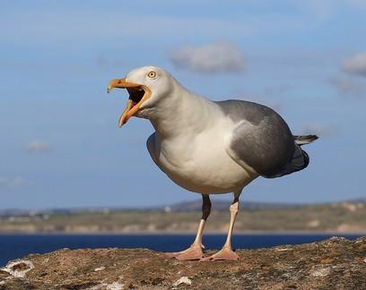 Aditivo usado em plástico é encontrado em ovos de gaivota-prateada