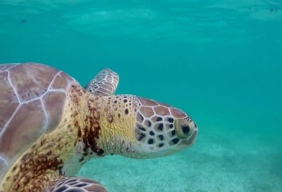 Tartaruga-verde é ameaçada através da predação de seus ovos pelos lagartos — Foto: Dirceu Martins / TG