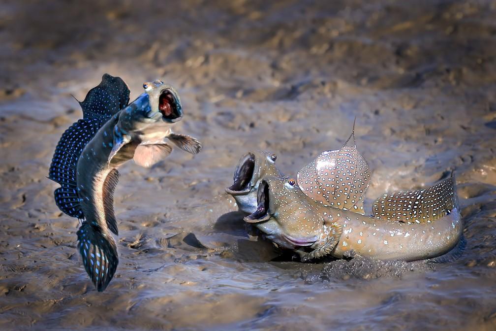Na foto, feita por Chu han lin, Taiwan, 3 peixes de olhos saltados parecem disputar quem consegue pular mais alto. Não há mais detalhes sobre a imagem, e qualquer semelhança com a sua expressão quando a fatura do cartão chega é mera coincidência. — Foto: © Chu han lin/Comedywildlifephoto.com