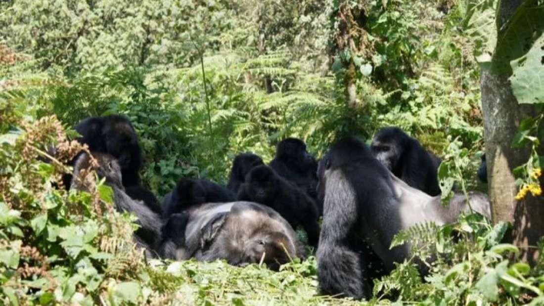 Um grupo de gorilas-de-grauer próximo a um gorila morto que não fazia parte do bando.  (Foto: Dian Fossey Gorilla Fund Internacional (gorillafund.org) / Creative Commons )